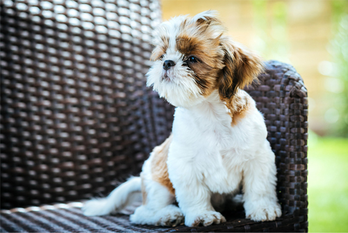 shih tzus are indoor dogs
