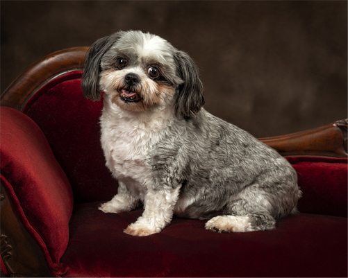 breed standard shih tzu