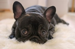 Special needs French bulldog looking cute and wanting someone to love her