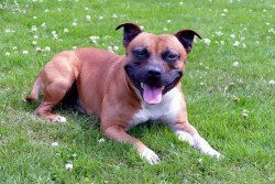 Image of Staffordshire Bull Terrier enjoying a lazy day in the shade.