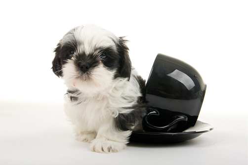 teacup shih tzu - cute shih tzu puppy in teacup
