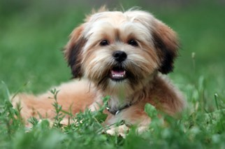 The Shorkie