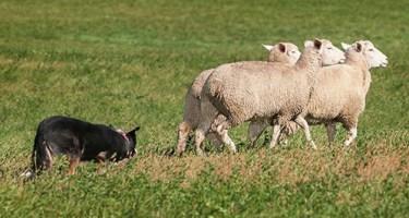 top herding breeds