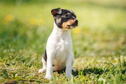 Toy Fox Terrier temperament: Image of TFT dog sitting and relaxing