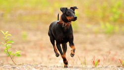 toy manchester terrier dog running in the field