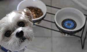 Shih Tzu looking up not wanting to eat its food