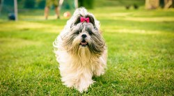 what health issues do shih tzus have