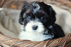 the cutest little shih tzu puppy you've ever seen sitting inside a basket