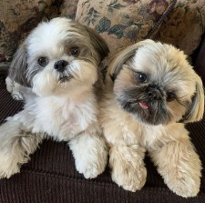 which is better a male or female shih tzu