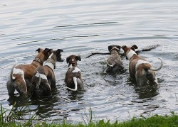 A group of five Whippets going into the pond after a stick