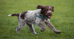Image of Wirehaired Pointing Griffon showing its true temperament