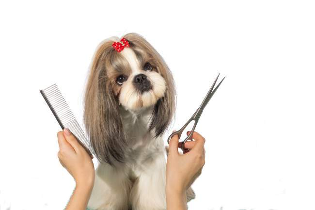 Shih Tzu being groomed using Scissors and comb