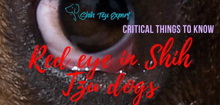 Red eye in Shih Tzu dogs