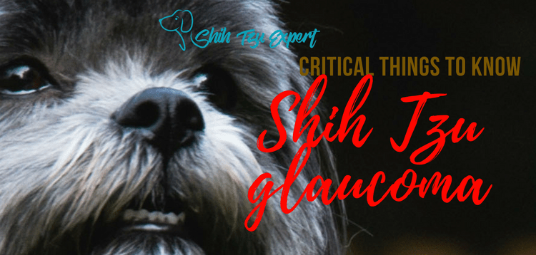 Shih Tzu glaucoma – This is the most Painful eye problem!