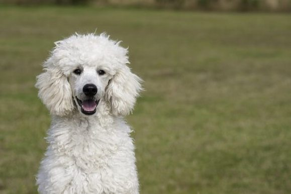 Clippers for Poodles