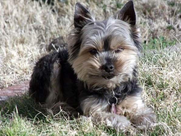 What to Expect IF Grooming a Yorkshire terrier at Home?