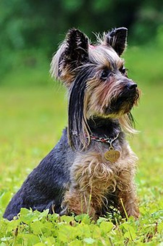 What extra grooming tools would you recommend in addition to good dog clippers, for grooming a Yorkie?