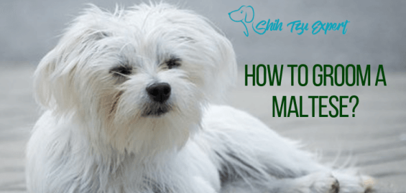 How to Groom A Maltese A Step By Step Guide