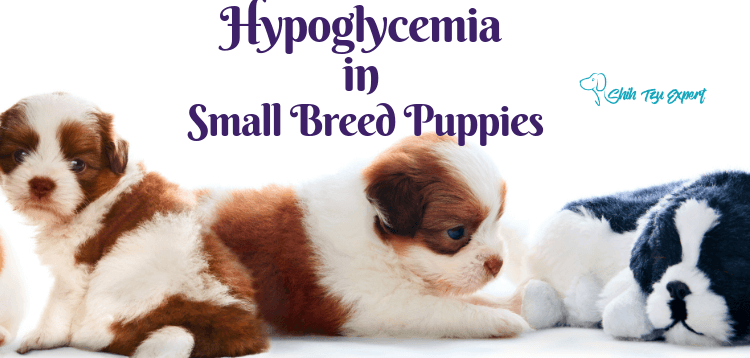Hypoglycemia in Small Breed Puppies