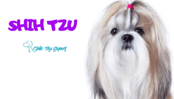 Should I neuter my Shih Tzu? Read THIS before Castrating
