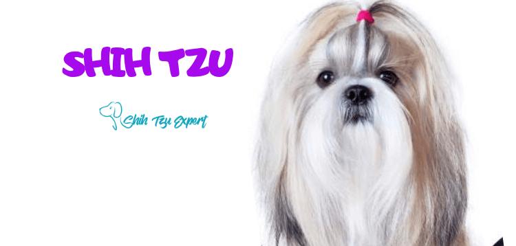 Shih Tzu The Royal Breed