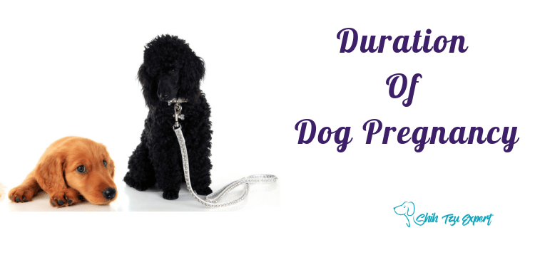 What is The Duration of Dog Pregnancy?