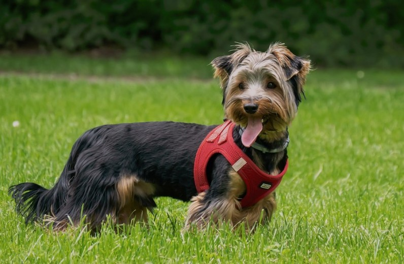 The Best Yorkie Harness
