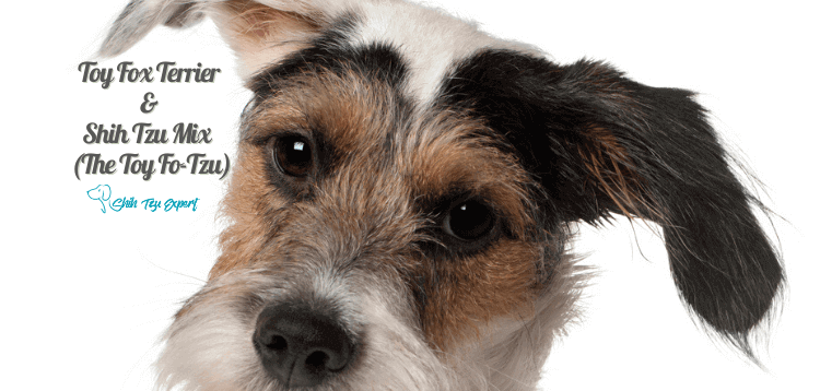 Toy Fox Terrier and Shih Tzu Mix (The Toy Fo-Tzu)