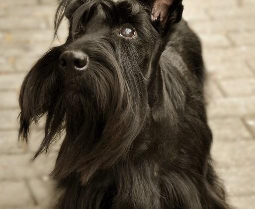 The Scottish Terrier Shih Tzu Mix (Sco-Shi)