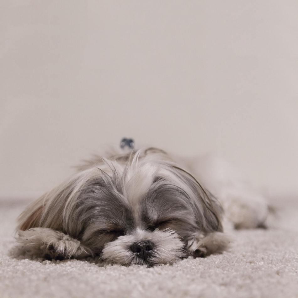 Why Is My Shih Tzu Puppy Very Quiet & So Calm?