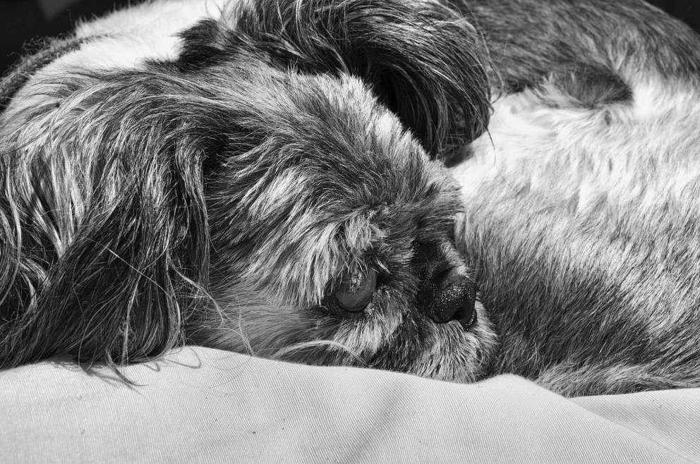 How To Get Rid Of Shih Tzu Smelly Face?