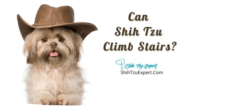 Can Shih Tzu Climb Stairs