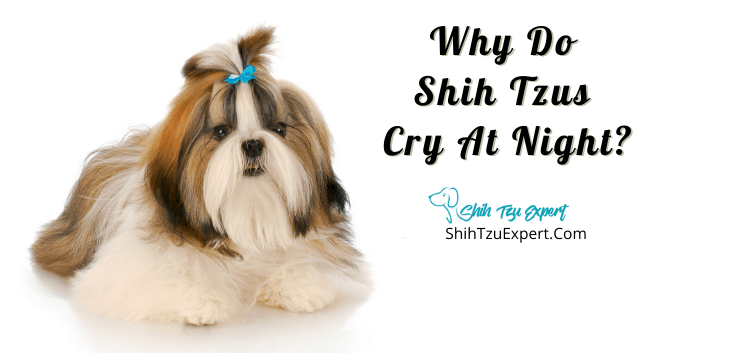 Why Do Shih Tzus Cry At Night
