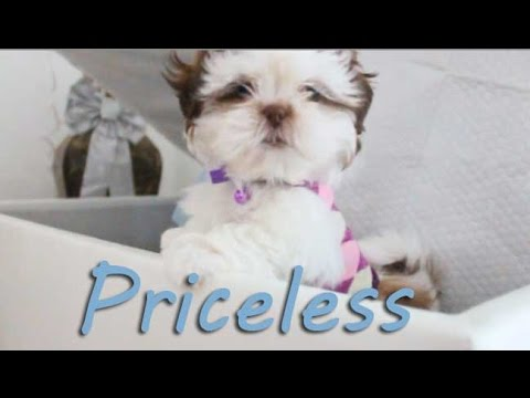 Cute Shih Tzu -Priceless