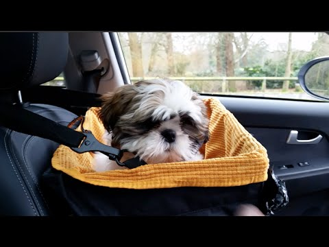 LOUIS SHIH TZU PUPPY IS TRAVELING IN STYLE- KURGO SKYBOX BOOSTER SEAT