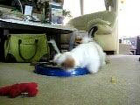Rocky the Shih Tzu playing with a cat toy