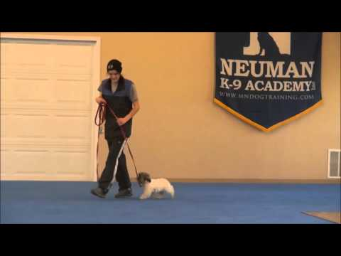 Winston (Shih Tzu) Puppy Boot Camp Training