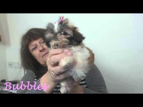 Teacup Shihtzu Puppies from Hazlenut – Minature Shihtzu Puppies – Karashishi Shihtzus