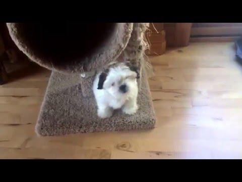 Puppy Training Shih Tzu Potty Training Indoor Playpen