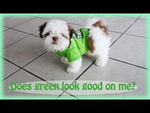 Green looks good on you, pup -Shih Tzu puppy Makey