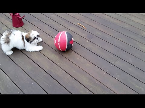 Louis The Shih Tzu (Puppy 14 Weeks Old) Playing With Basket Ball