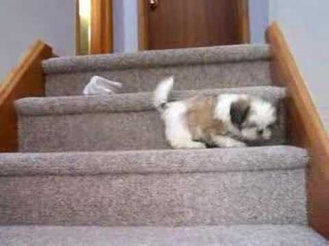 shih tzu tibets First steps on stairs