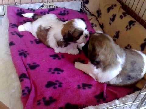 4 week old shih tzu puppies play fighting