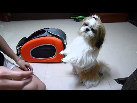 Coco the Smart Shih Tzu: Pray