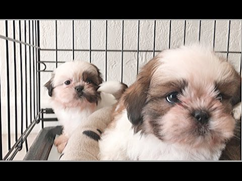 Are Shih Tzu's Lazy? Maybe – Too Cute