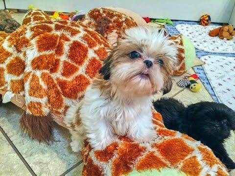 Cute Purebred Shih Tzu Puppies