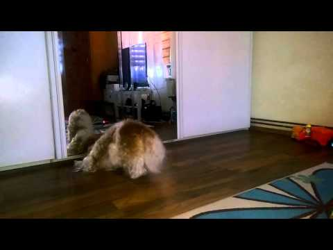 Shih Tzu Dog Barking at the Mirror
