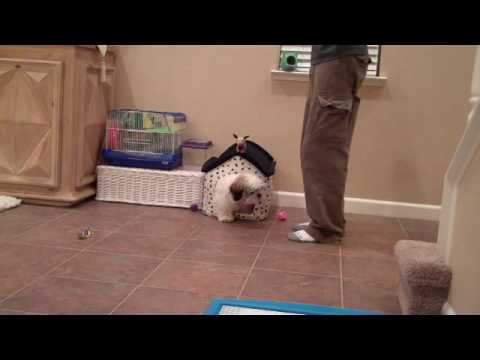 Cute Shih Tzu Training – Cooper Runs To His Dog House