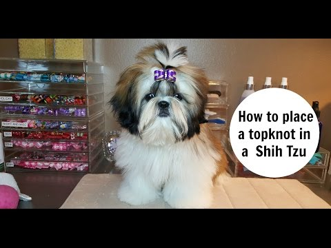 How to place a topknot in a Shih Tzu