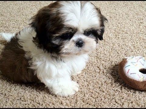 Meet My New Puppy, Junior (9 weeks old Shih Tzu)